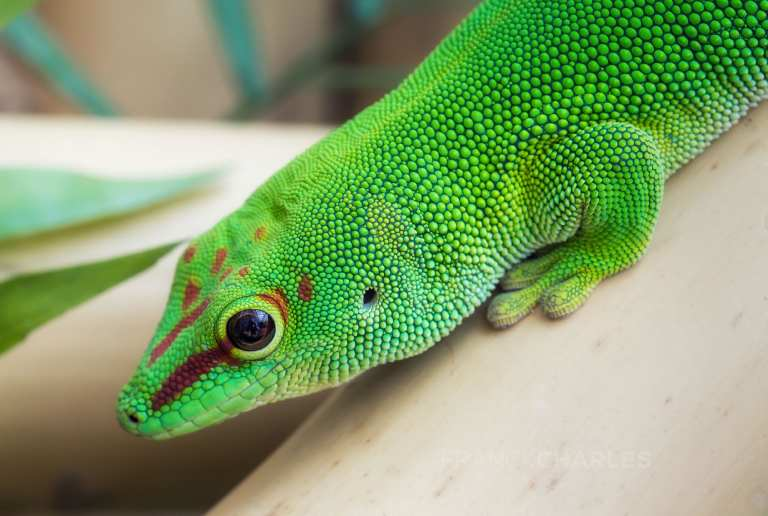 Gecko - Franck Charles